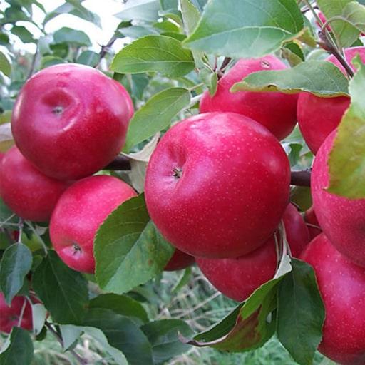 Айред яблоки купить Москва
