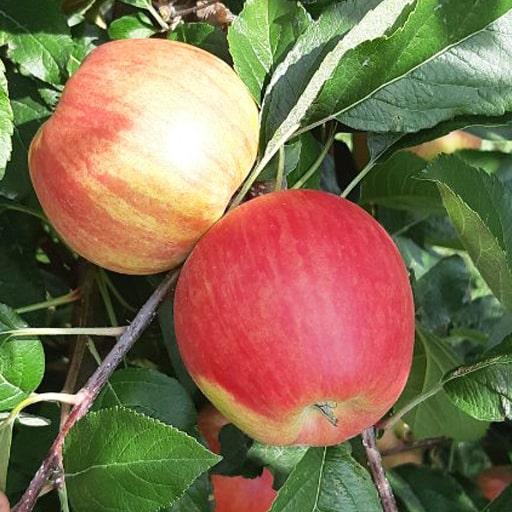Джона голд яблоки Молдова купить 2019