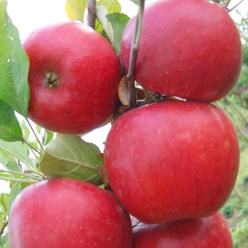 Яблоки Джоника