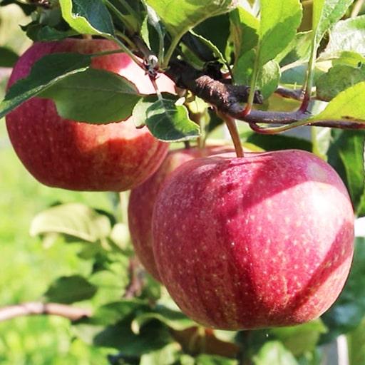 Гала рояль яблоки 2019