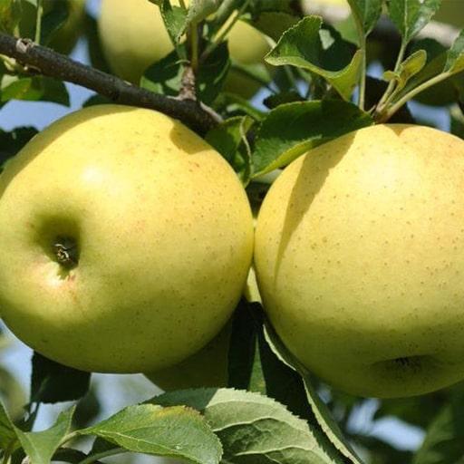 Яблоки 2019 Голден