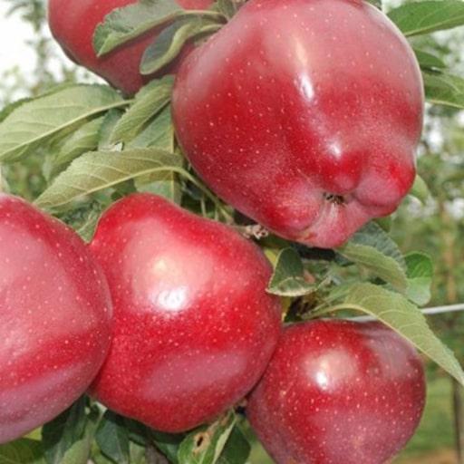 Ред Чиф яблоки купить