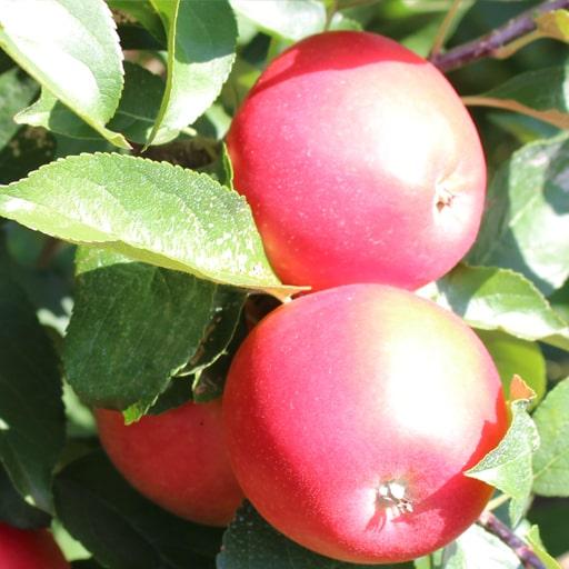 Молдавские яблоки