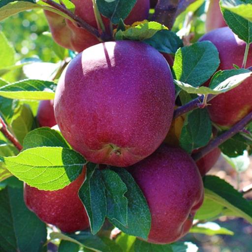 Ред Велокс яблоки