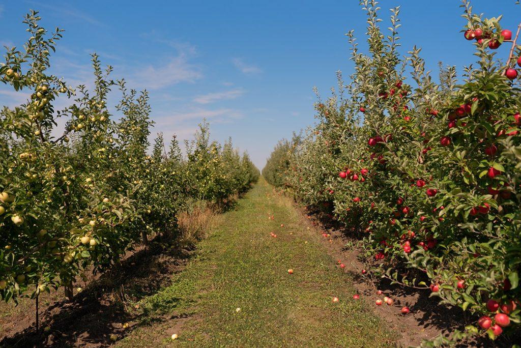 цены яблоки Молдова отзывы