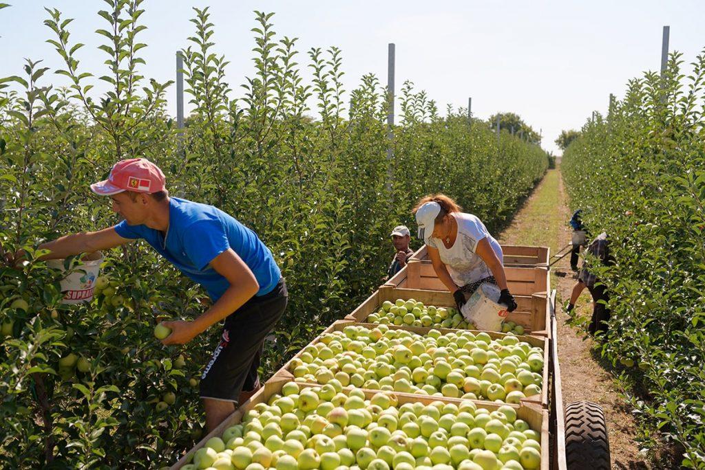 сбор яблок Vamilagro